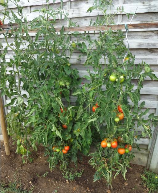 tomato plant emf protection